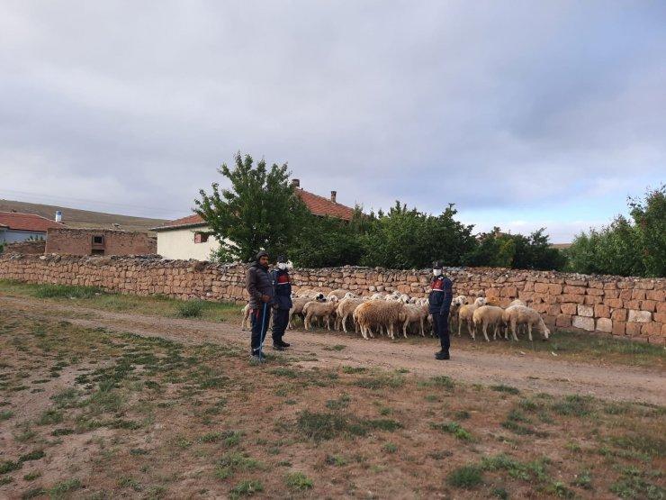 Kaybolan koyunları jandarma ekipleri buldu