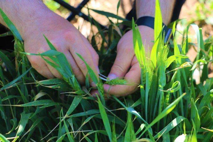 Kuraklığa karşı geliştirilen buğday genotipleri tescil yolunda