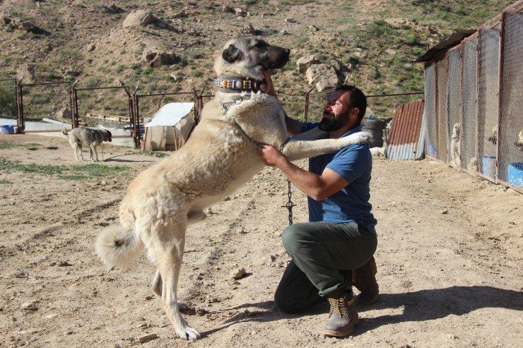 """Kangal köpeği yetiştiricisi:""""'Ben üreticiyim' diyen herkesin suç kayıtlarına bakılsın"""""""