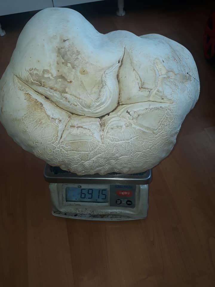 7 kiloluk dev mantar görenleri şaşırttı