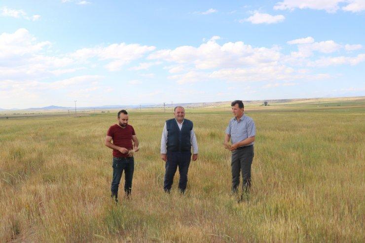 Niğde'de buğday ve arpa üreticisini kuraklık vurdu