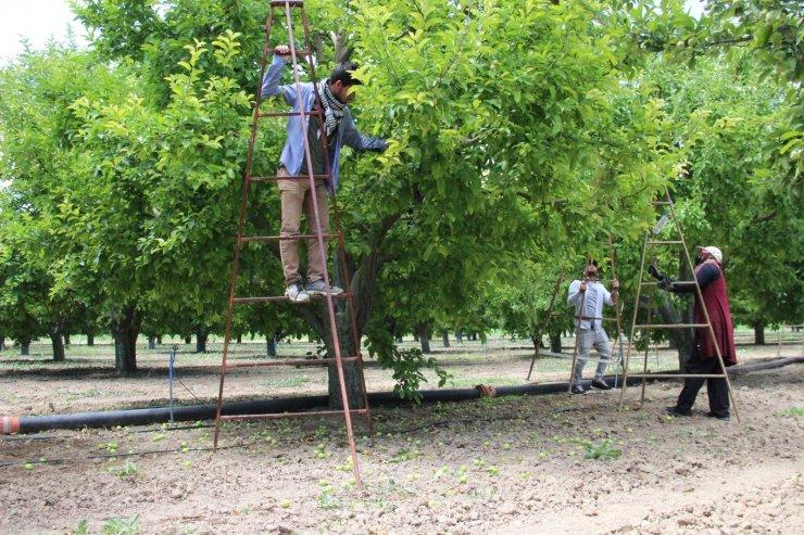 Kaliteli üretim için fazla elmalar dalından kesiliyor