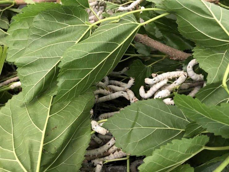 Kaybolmaya yüz tutmuş ipek böceği yetiştiriciliği Nallıhan'da hayat buluyor
